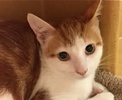 A picture of #ET01463: Fritz a Domestic Medium Hair orange swirl /white