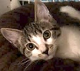 A picture of #ET01464: Mazie a Domestic Medium Hair black tabby/white