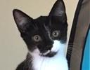 A picture of #ET01466: ED a Domestic Short Hair black/white tuxedo