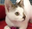 A picture of #ET01472: Pirate a Domestic Short Hair white w/brown tabby