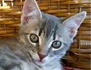 A picture of #ET01476: Dusty a Domestic Medium Hair silver tabby