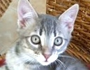 A picture of #ET01477: Teddy a Domestic Medium Hair silver tabby