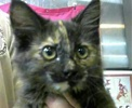 A picture of #ET01479: Floriana a Maine Coon-x calico