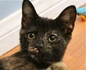 A picture of #ET01483: Harley Quinn a Domestic Short Hair tortie