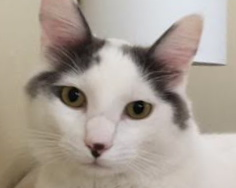 [picture of Cupid, a Turkish Van Mix white/black\ cat]