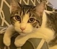 A picture of #ET01487: Turbo a Domestic Short Hair white/brown tabby