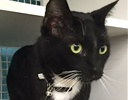 A picture of #ET01488: Oliver a Domestic Short Hair black/white tuxedo