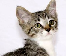 A picture of #ET01497: Samsam a Domestic Short Hair silver tiger tabby/white