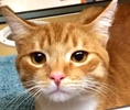 A picture of #ET01499: Melbourne a Domestic Short Hair orange