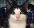 A picture of #ET01504: Sally a Domestic Short Hair black/white