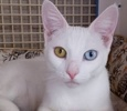 A picture of #ET01506: Haydee a Domestic Short Hair white