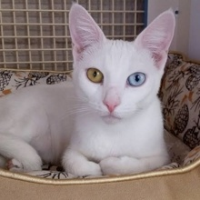 [another picture of Haydee, a Domestic Short Hair white\ cat]