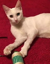 [picture of Haydee, a Domestic Short Hair white cat]