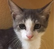 A picture of #ET01512: Desperado a Domestic Short Hair silver/white