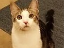A picture of #ET01513: Easy Peasy a Domestic Short Hair brown tabby/white
