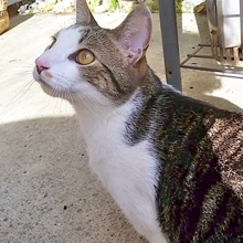 [another picture of Easy Peasy, a Domestic Short Hair brown tabby/white\ cat]