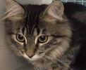 A picture of #ET01517: Kiki a Maine Coon-x gray tabby