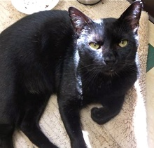 [another picture of Winslow, a Domestic Short Hair black\ cat]
