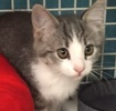 A picture of #ET01520: Toto a Domestic Short Hair silver tiger tabby/white