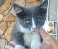 A picture of #ET01522: Yuko a Russian Blue Mix blue/white