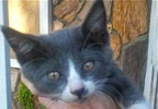 A picture of #ET01523: Poka a Russian Blue Mix blue/white