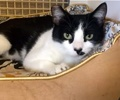 A picture of #ET01530: Cassie a Domestic Short Hair black/white