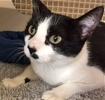 [picture of Cassie, a Domestic Short Hair black/white cat]