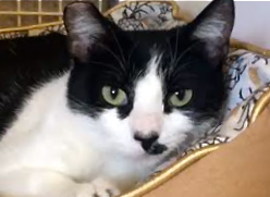 [picture of Cassie, a Domestic Short Hair black/white\ cat]