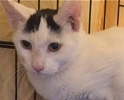 A picture of #ET01531: Indy AKA Tippy a Turkish Van Mix white.black