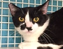 A picture of #ET01532: Butch a Domestic Short Hair black/white