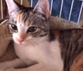 A picture of #ET01533: Chance AKA Hazel a Domestic Short Hair tiger calico