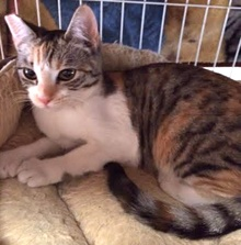 [another picture of Chance AKA Hazel, a Domestic Short Hair tiger calico\ cat]