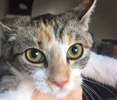 [picture of Chance AKA Hazel, a Domestic Short Hair tiger calico cat]