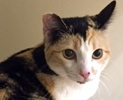 A picture of #ET01534: Hope a Domestic Short Hair dilute calico