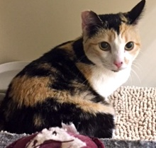 [picture of Hope, a Domestic Short Hair dilute calico cat]