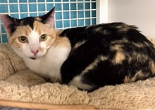 [picture of Hope, a Domestic Short Hair calico cat]