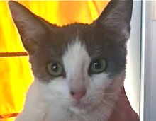 A picture of #ET01538: Yaya a Domestic Short Hair blue/white