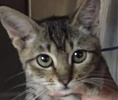 A picture of #ET01539: Tora a Domestic Short Hair black/gray tabby
