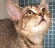 A picture of #ET01541: Tanga a Domestic Short Hair tick brown
