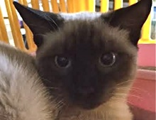 A picture of #ET01543: Ming a Siamese polydactyl chocolate point