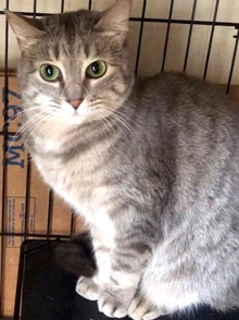 [another picture of Morrissa, a Domestic Short Hair silver tabby\ cat]