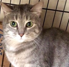[picture of Morrissa, a Domestic Short Hair silver tabby\ cat]