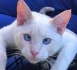 A picture of #ET01556: Snowball a Siamese Flame point