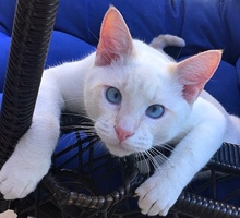 [another picture of Snowball, a Siamese Flame point\ cat]