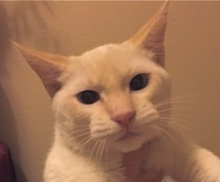[picture of Snowball, a Siamese Flame point\ cat]