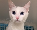 A picture of #ET01557: Kindness a Turkish Van Mix white