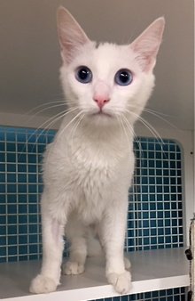 [picture of Kindness, a Turkish Van Mix white cat]