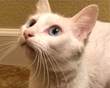 [picture of Kindness, a Turkish Van Mix white\ cat]