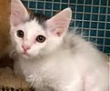 A picture of #ET01561: Oreo a Turkish Van Mix white
