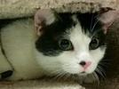 A picture of #ET01563: Jordana a Domestic Short Hair black/white